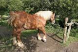 Maréchal-ferrand au travail sur un cheval d'attelage de Bréca - IMG_0309_DXO.jpg