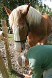 Maréchal-ferrand au travail sur un cheval d'attelage de Bréca - IMG_0312_DXO.jpg