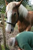 Maréchal-ferrand au travail sur un cheval d'attelage de Bréca - IMG_0313_DXO.jpg