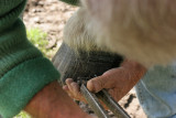 Maréchal-ferrand au travail sur un cheval d'attelage de Bréca - IMG_0316_DXO.jpg