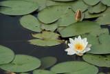 Nénuphar de l'étang de Sandun - MK3_4725_DXO.jpg