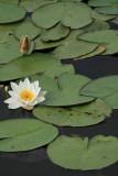 Nénuphar de l'étang de Sandun - MK3_4726_DXO.jpg