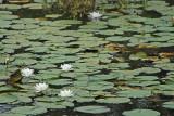 Nénuphar de l'étang de Sandun - MK3_4728_DXO.jpg
