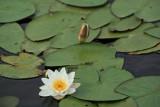Nénuphar de l'étang de Sandun - MK3_4729_DXO.jpg