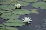 Nénuphar de l'étang de Sandun - MK3_4738_DXO.jpg