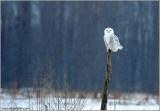 Snowy Owl (re-edit) 17