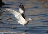 Sabine's Gull / Mouette de Sabine