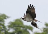 balbuzard_pecheur__osprey