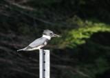 martin-pcheur_-_kingfisher