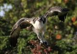balbuzard_pecheur_-_osprey