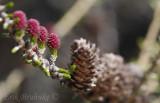 Tamarack flowering