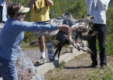 Karen releasing the Bald Eagle