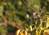Ruby-throated Hummingbird, relaxing one morning at Hawk Ridge