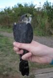 Adult male Merlin