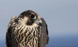 Peregrine Falcon in-the-hand