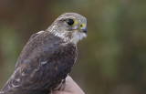Juvenile Male Prairie Merlin