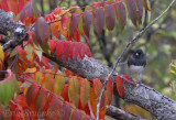 Dark-eyed Junco... slightly concerned about all of the fall colors