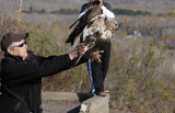 Linda releasing her Rough-legged Hawk