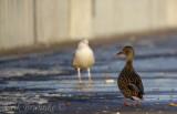 When a Mallard Goes Gull-watching, at Canal Park