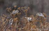 Two Harbors Christmas Bird Count 2011