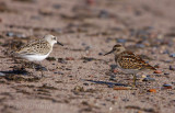 Semipalmated Sandpiper and Least Sandpiper