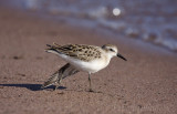 Semipalmated Sandpiper stretching!