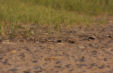 Can you find the Buff-breasted Sandpiper?