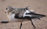 Sanderling, giving the wing a good stretch