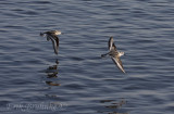 Sanderlings zipping by