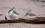 Sanderling (left) and Semipalmated Sandpiper (right)