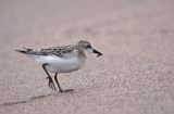 Semipalmated Sandpiper with an ant!
