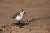 Semipalmated Sandpiper - showing off some of that semipalmation
