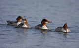 Common Mergansers riding a gradual wave