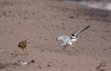 Semipalmated Plover dancing around, and a freaked-out Buff-breasted Sandpiper