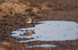 Semipalmated Sandpiper looking at the reflection