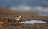 Semipalmated Sandpiper... this little bird had a stressed right wing