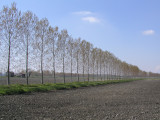 Filare di Pioppi in Aprile - Parco del Ticino, Bereguardo, Italia
