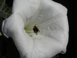 Belladinotte con Calabrone - Il Calabrone succhia il polline
