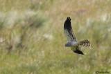Albanella minore-Montagu's Harrier  (Circus pygargus)