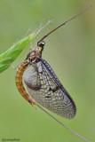Ephemera sp.