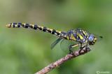 Onychogomphus uncatus female