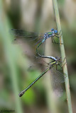Lestes dryas mating