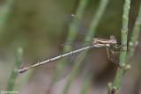 Lestes barbarus female