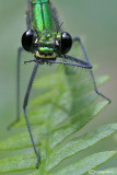 Calopteryx virgo female