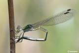 Lestes virens female-ovodeposition