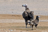 Avvoltoio orecchiuto - Lappet faced Vulture(Torgos tracheliotus)