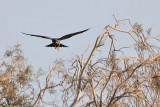 Falco unicolore-Sooty Falcon (Falco concolor)