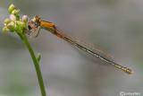 Ishnura pumilio female
