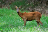Capriolo-Roe Deer  (Capreolus capreolus)