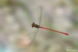 Ceriagrion tenellum male